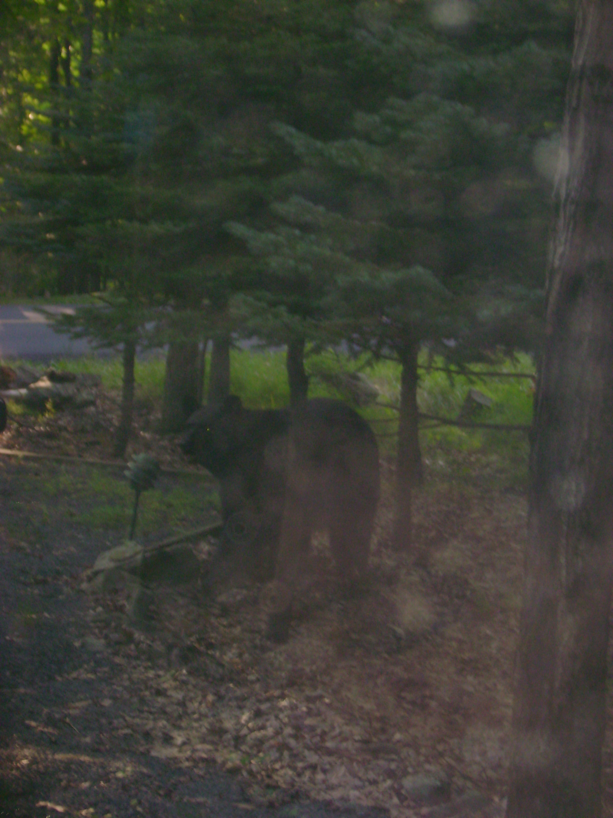 Bear sighting 004