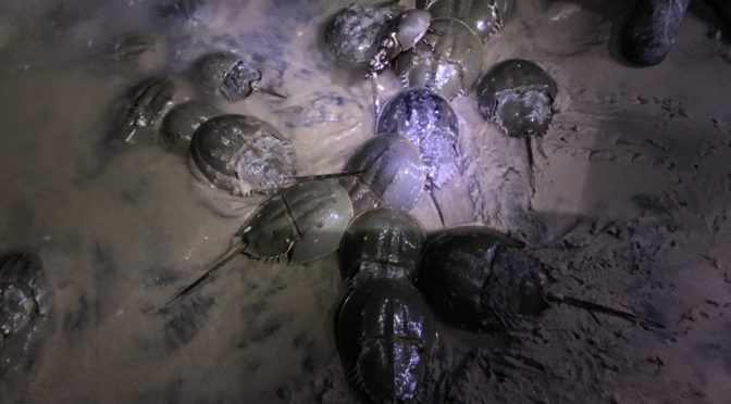 Counting Horseshoe Crabs in the Dark
